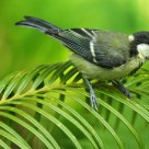 Great tit in the green