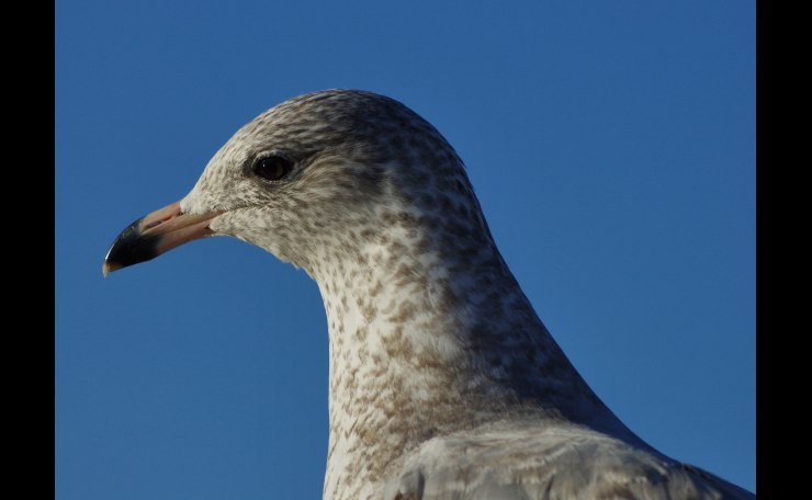 Gull in Profile