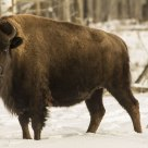 Buffalo Still Roam