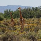 Four inquisitive Giraffes