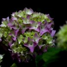 growing hortensia