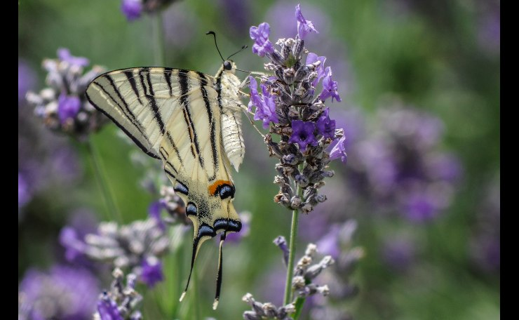 Iphiclides Podalirius di profilo su Fiore di Lavanda - Profile of Scarce Swallowtail Butterfly on Lavender Flower-