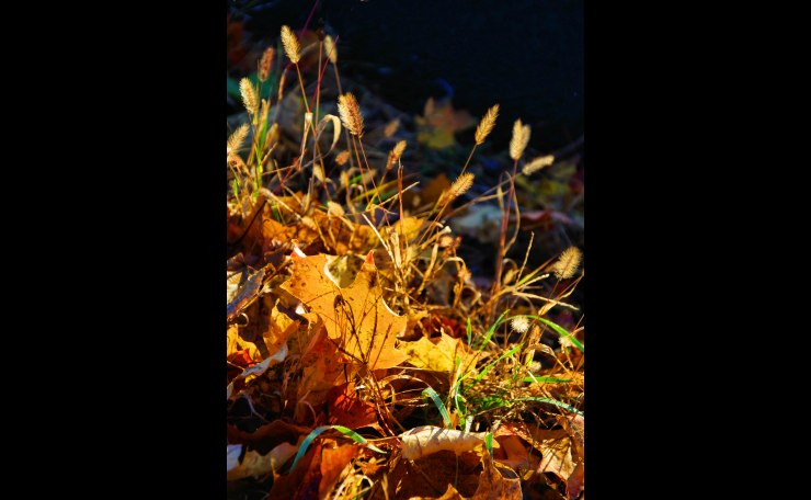 Autumnal Leaves in Back Light