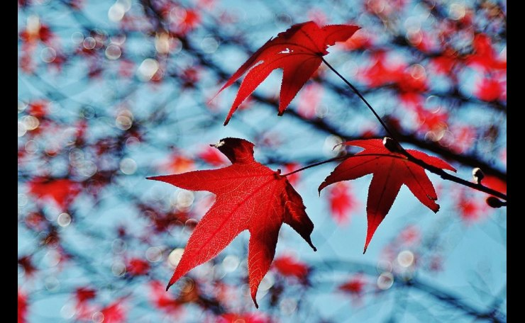 Red leaf bokeh
