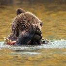 Grizzly Bear Cub Learning to Fish