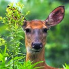 Deer in summer flower garden